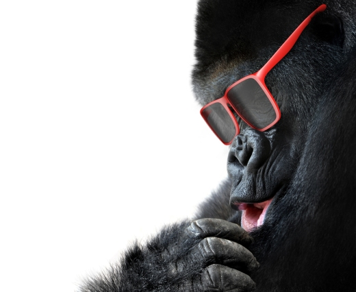 Unusual animal fashion; closeup of gorilla face with red sunglas